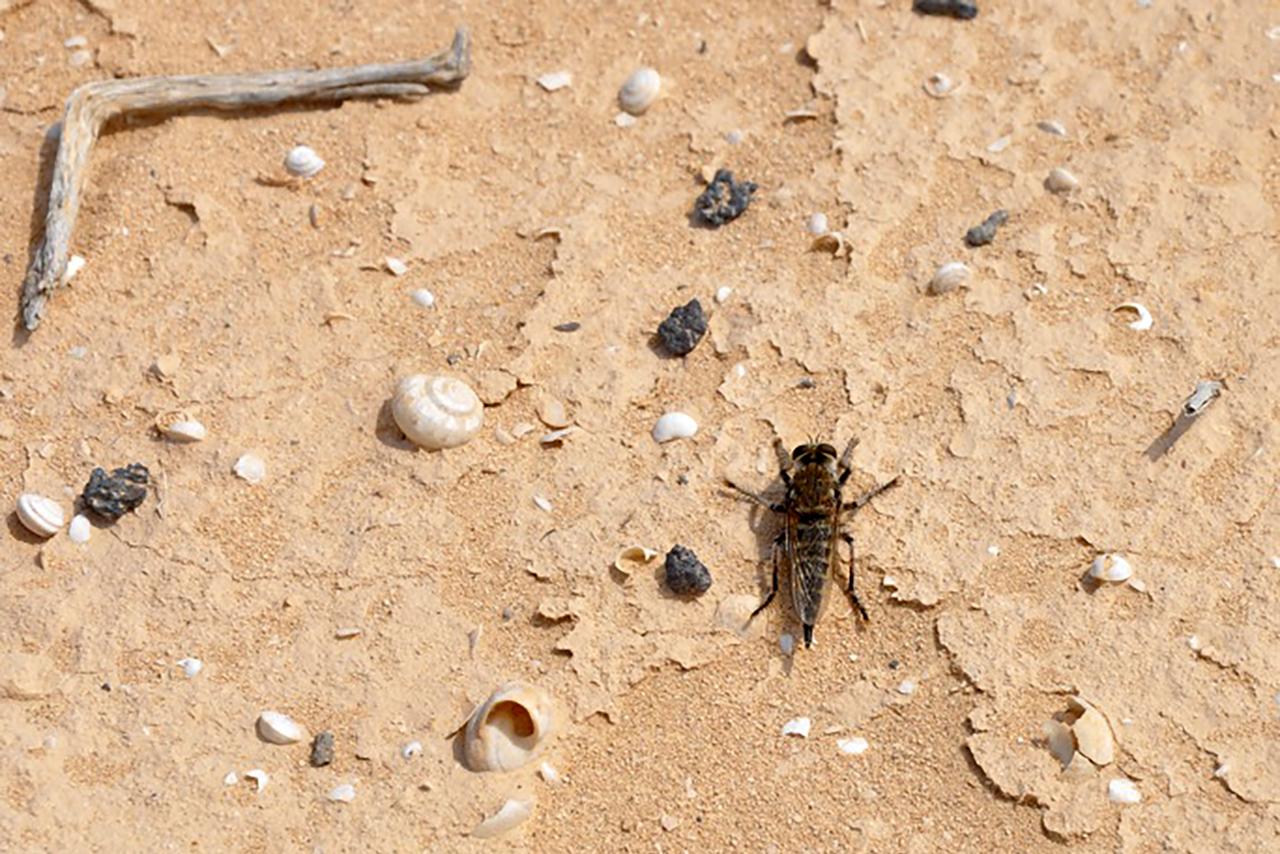 Promachus Vexator, insecto endémico de las Islas Canarias